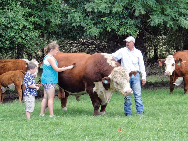 Happy with Herefords
