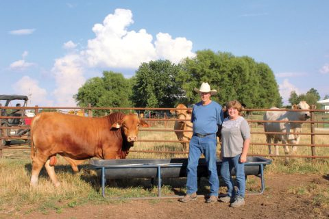 Gaited Horses and Beefmaster Cattle