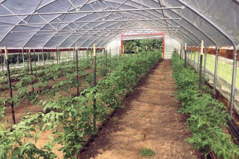 High Tunnels Give Farmers a Head Start