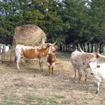Raising Longhorns