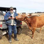 Hardy Cattle, Healthy Beef